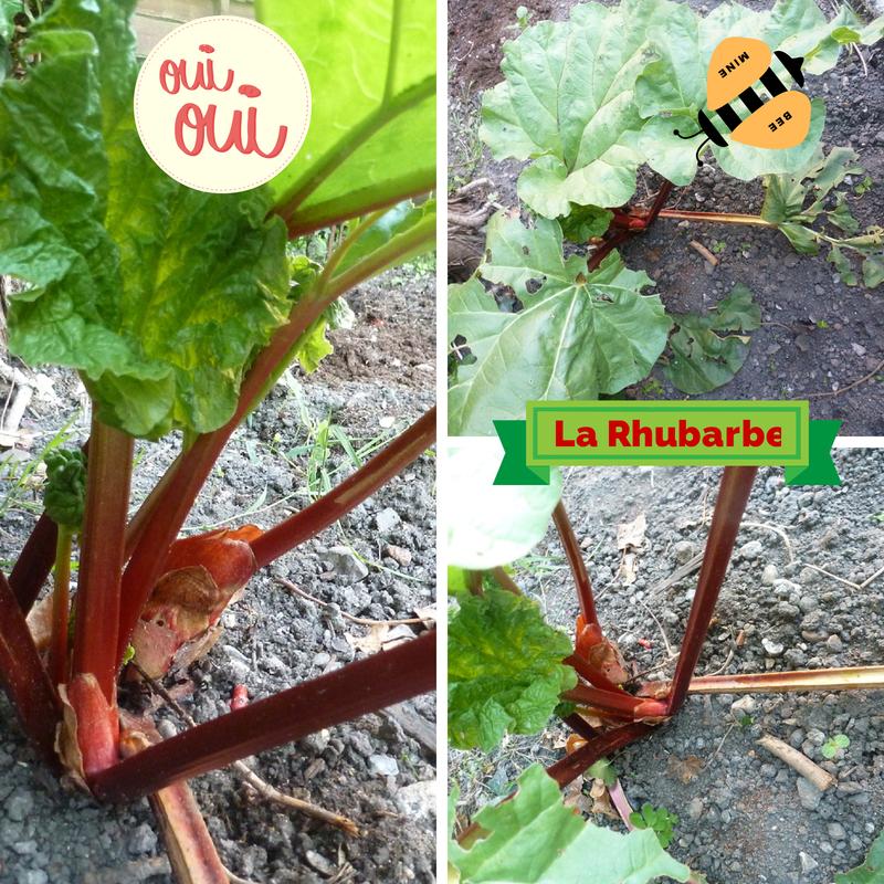 Pieds de rhubarbe de mon jardin